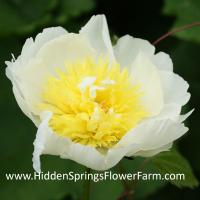 Yellow and White Peony Faribo Gold