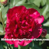 Cottage Garden Red Double Peony Felix Crousse