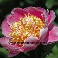 Colorful Japanese Form Peony Frank Newbold