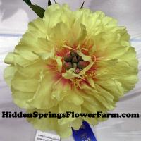 Brilliant Yellow Itoh Peony Garden Treasure