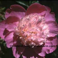 Fragrant Peony Gay Paree