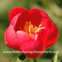 Gold Medal Winning Red Hybrid Peony Golden Glow
