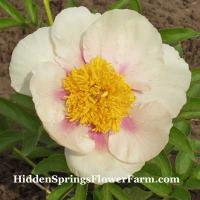 Peony Golden Wings Fertile early blooming buff apricot blooms.