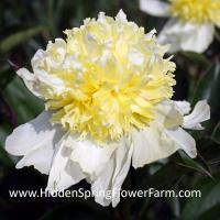 Hybrid Yellow Peony Goldilocks