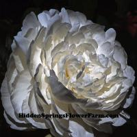 Double White Peony Grand Forks