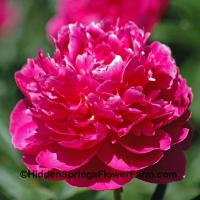 Excellent Cut Peony Henry St. Claire