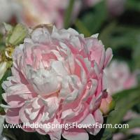Fragrant Pink Double Peony Hermione