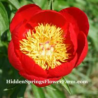 Peony Illini Chief rare red-orange early blooming peony.