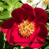 Robust Red Hybrid Peony Illini Warrior