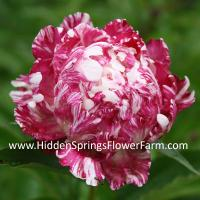 Rare Candy Stripe Peony Independence Day