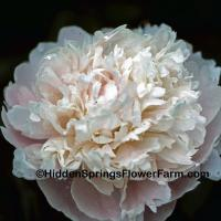 Great Cut Flower Peony James Pillow
