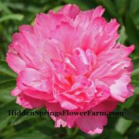 Peony Joker hybrid changes color from a rich pink to picotee edged beauty.