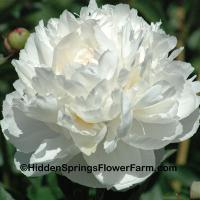 Excellent Cut Flower Double White Peony Joseph Christie