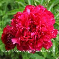 Dark Red Double Peony Judy Becker