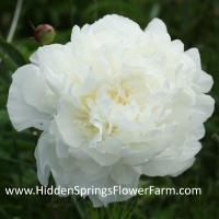 Rare Double White Peony Kelways Glorious