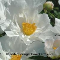 Award of Landscape Merit Winner Peony Krinkled White