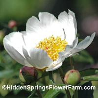 Paeonia lactiflora white form of the wild species.