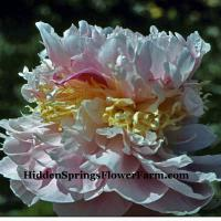 Peony LaVon a huge flowered triple layered bloom.