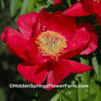 Saunders Hybrid Peony Legion of Honor