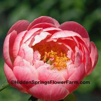 Gold Medal Winning Saunders Hybrid Peony Ludovica