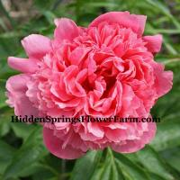 Peony Madelin Theresa Rare Coral pink double compact growing hybrid.