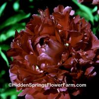 Bright Red Double Peony Mary Brand