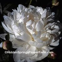 Double White Lins Peony Mercedes