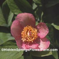 Paeonia daurica mlokosewitschii pink form of the species.