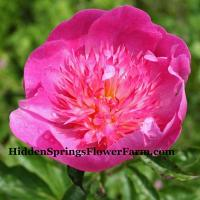 Charming Peony Madame Butterfly sings a special song in your garden