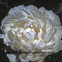 Double White Peony Mount Everest