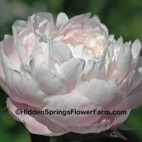Fragrant Gold Medal Peony Mrs. Franklin D. Roosevelt