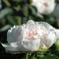 Very Fragrant Blush Peony Myrtle Gentry