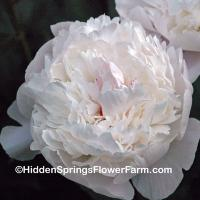 Superb Cut Flower Peony Nancy Nicholls