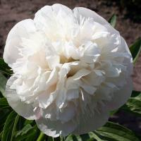 White Memorial Day Peony.