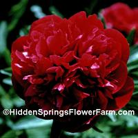 Red Memorial Day Peony.