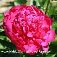 Double Red Peony Paul M. Wild