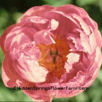 Fragrant Award of Landscape Merit Gold Medal Peony Pink Hawaiian Coral