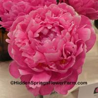 Late Blooming Double Peony Pink Parfait