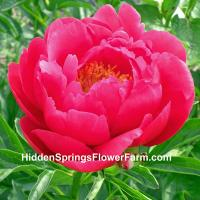 Peony Raspberry Charm strong stems and early bloom.
