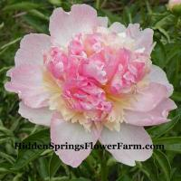 Peony Raspberry Sundae a prolific bloomer in the garden