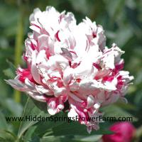Rare Candy Striped Peony Raspberry Clown