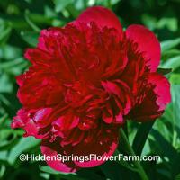 Fragrant Gold Medal Hybrid Peony Red Charm