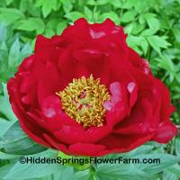 True Red Saunders Hybrid Peony Red Red Rose