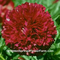 Regal Red Hybrid Double Peony Red Grace