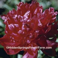 Double Red Peony Royal Charter