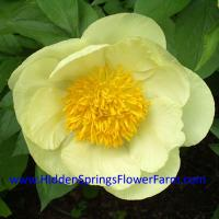Fertile Hybrid Creamy Yellow Peony Roy Pehrson's Best Yellow