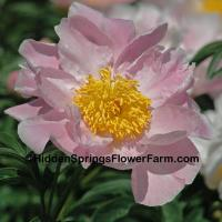Fragrant Gold Medal Peony Sea Shell