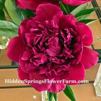 Compact growing Peony Shawnee Chief great spring and fall foliage color