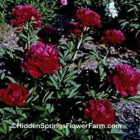 Red Double Peony Shawnee Chief