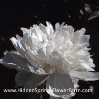 White Double Peony Shirley Temple
